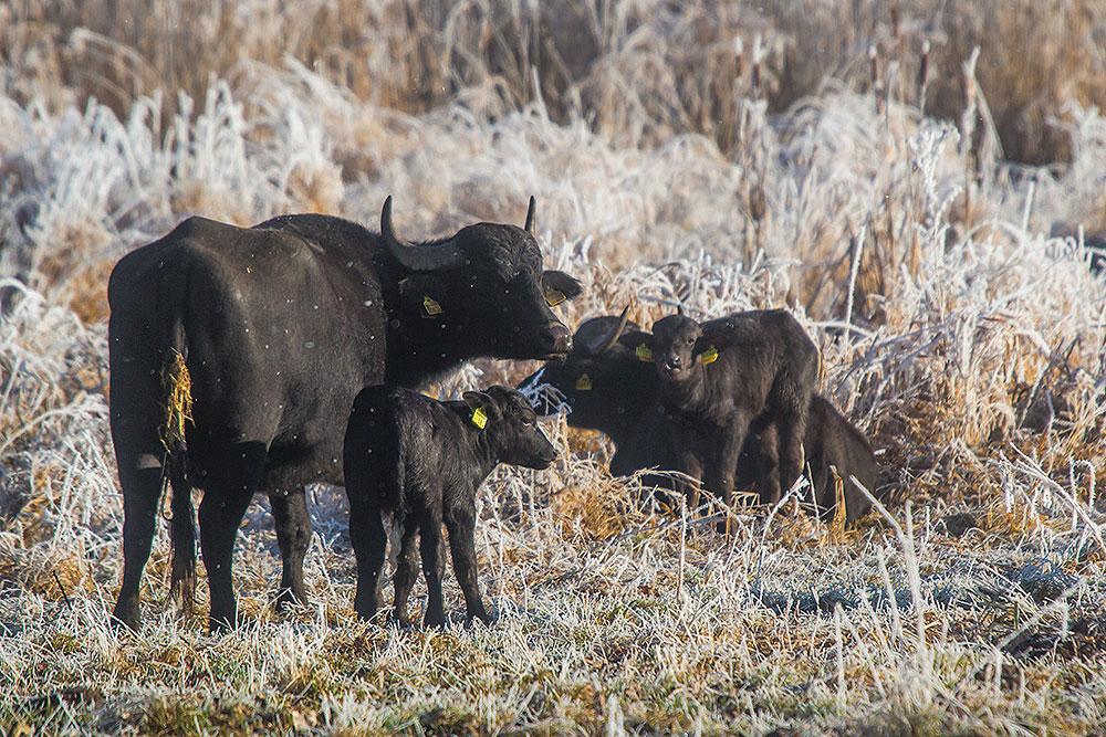Die Wasserbüffel in den Thürer Wiesen